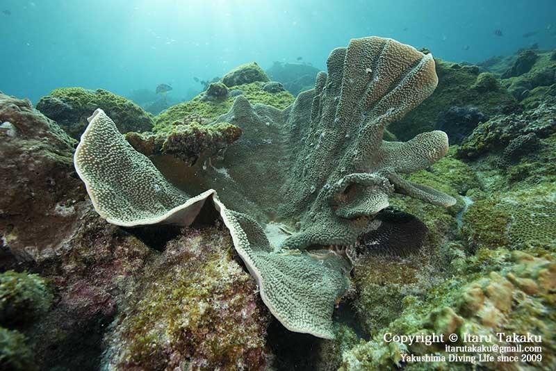 種子島・サンゴ調査〜10年間のサンゴの変遷〜_b0186442_18471424.jpg