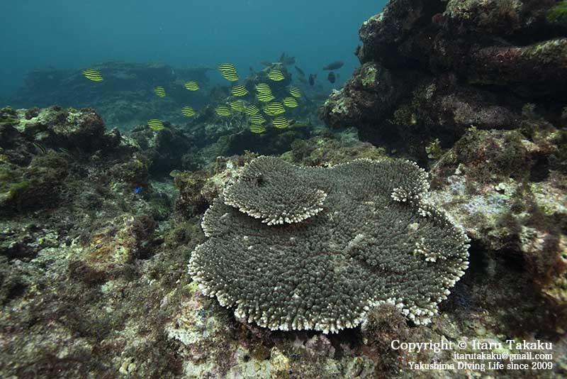 種子島・サンゴ調査〜10年間のサンゴの変遷〜_b0186442_18471462.jpg