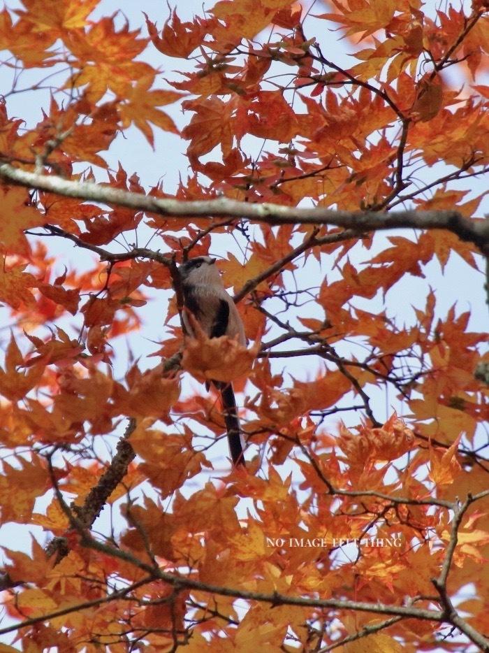 秋の日のエナガ♪_d0367763_19284417.jpg