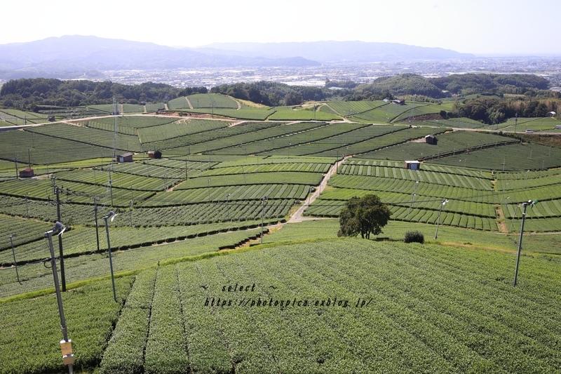 八女の茶畑_e0364398_06075290.jpg