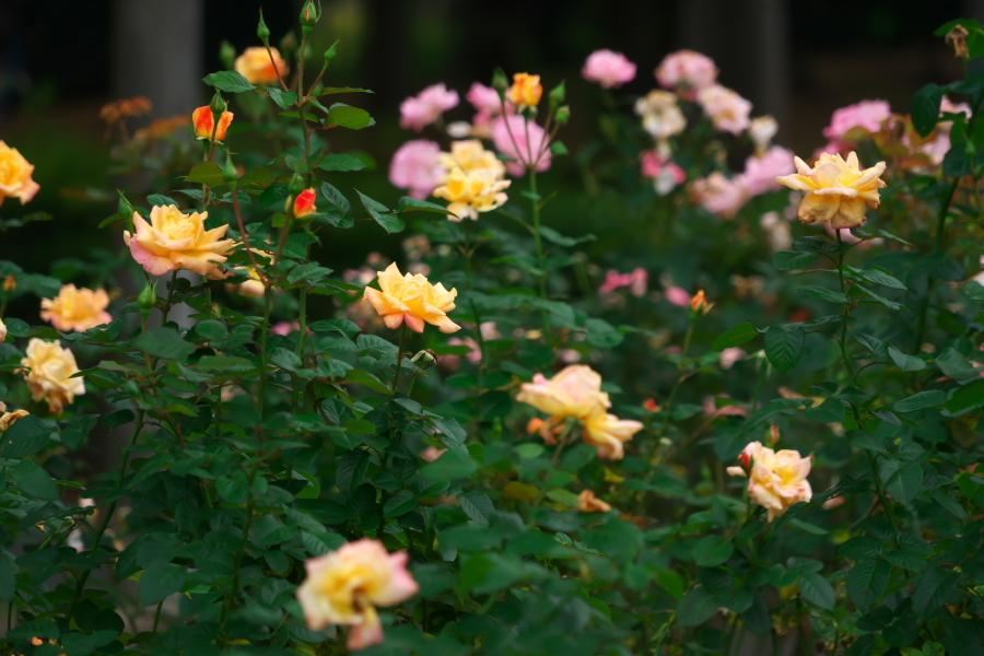 さいたま市 与野公園の秋バラ1_a0263109_19355921.jpg