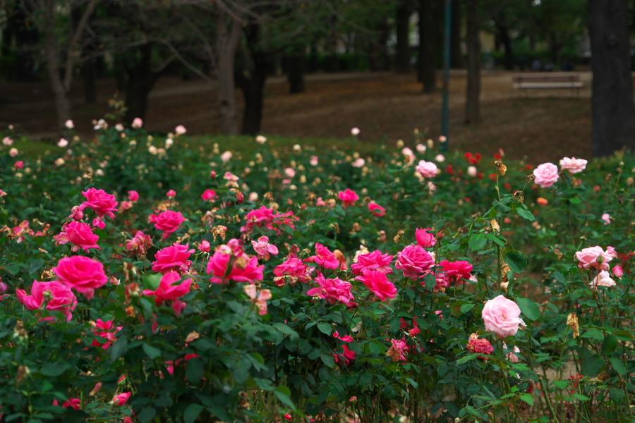 さいたま市 与野公園の秋バラ1_a0263109_19360064.jpg