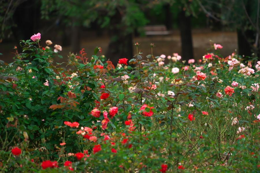 さいたま市 与野公園の秋バラ1_a0263109_19360157.jpg