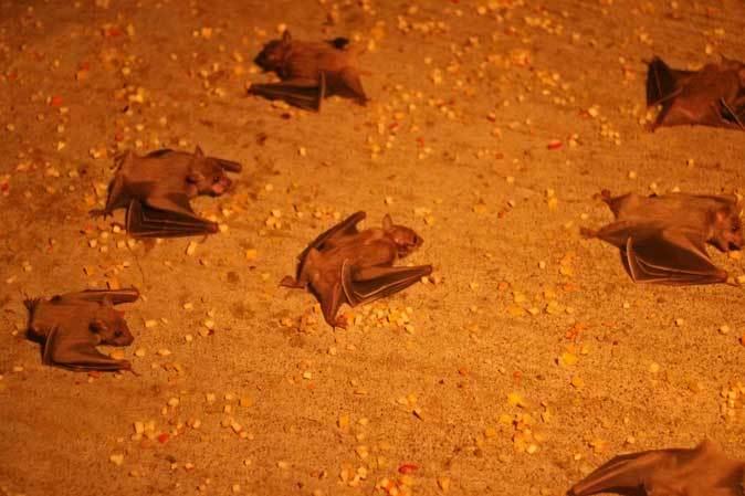 東山動植物園:スターライトハウス~地を這うルーセットオオコウモリ(December 2018)_b0355317_21400515.jpg