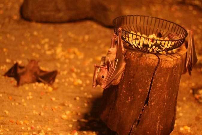 東山動植物園:スターライトハウス~地を這うルーセットオオコウモリ(December 2018)_b0355317_21460707.jpg