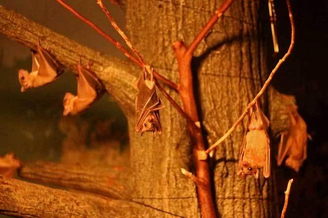 東山動植物園:スターライトハウス~地を這うルーセットオオコウモリ(December 2018)_b0355317_21465610.jpg