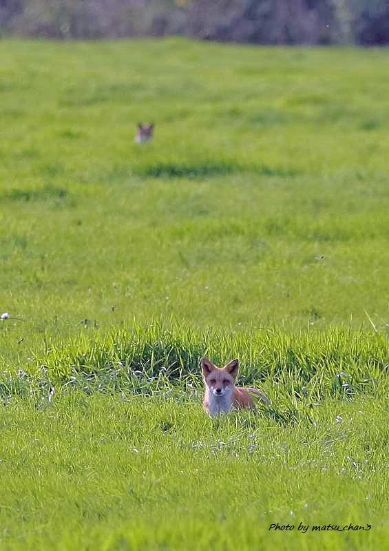 キタキツネ Ezo Red fox_c0070654_20034712.jpg