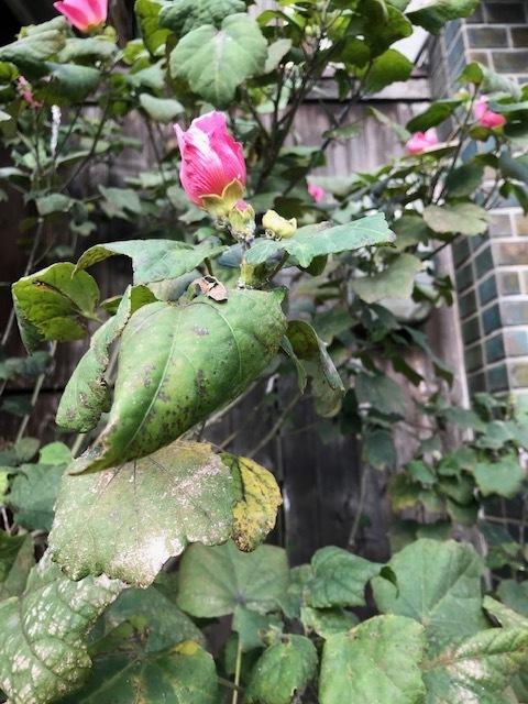 こんな季節に芙蓉が咲いてる_f0256164_12081135.jpg