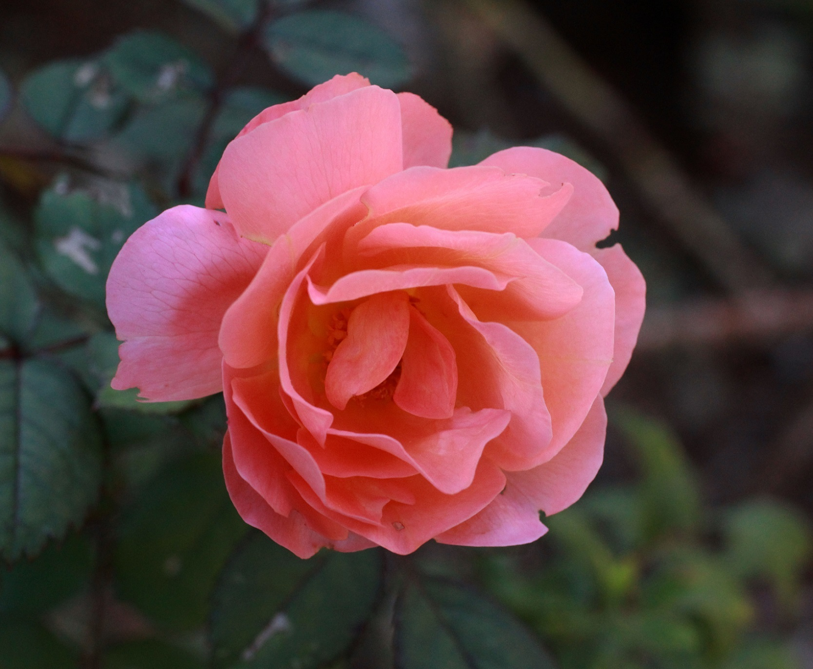 秋薔薇 ~エマハミルトン~_a0107574_21221361.jpg