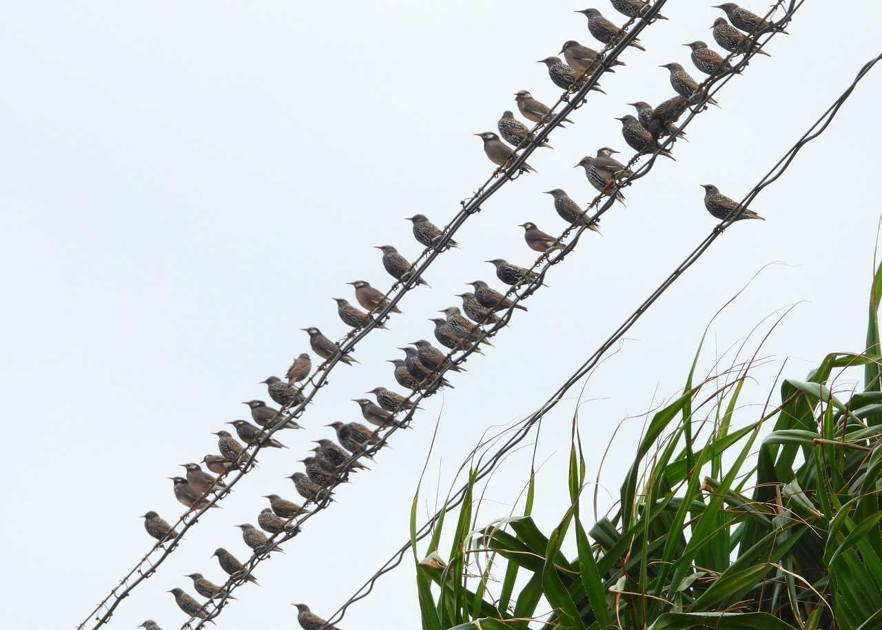 八重山諸島~探鳥~与那国島編 ⑧_d0360910_22225459.jpg