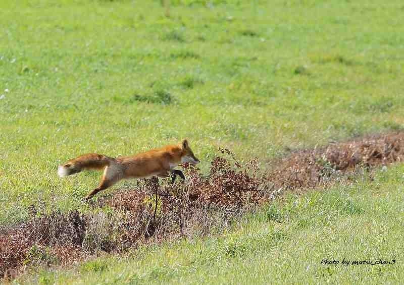 キタキツネ Ezo Red fox_c0070654_14175246.jpg