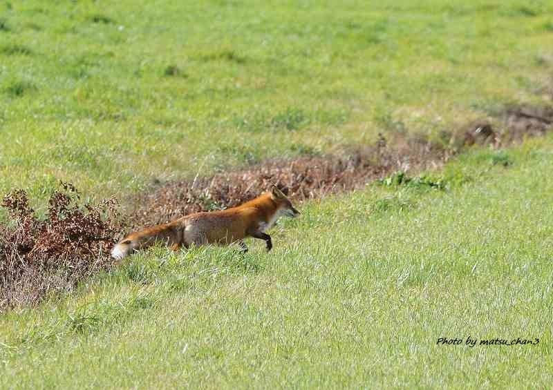 キタキツネ Ezo Red fox_c0070654_14175908.jpg