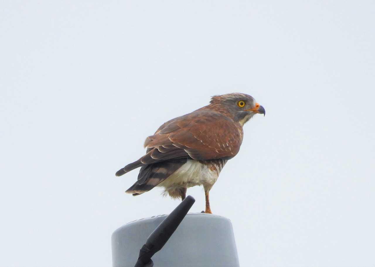 八重山諸島~探鳥~与那国島編 ⑫_d0360910_05461771.jpg