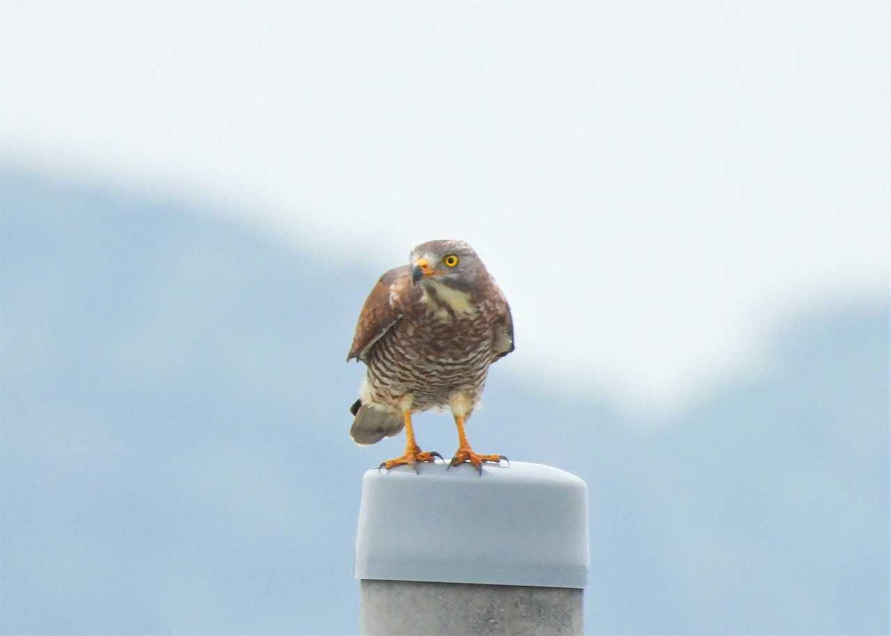 八重山諸島~探鳥~与那国島編 ⑫_d0360910_05463103.jpg