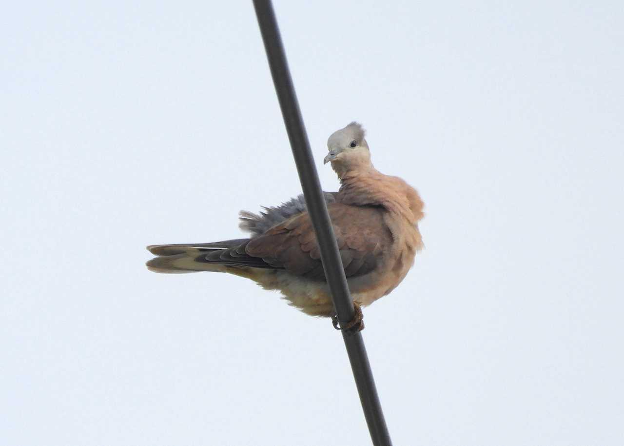 八重山諸島~探鳥~与那国島編 ⑭_d0360910_06105270.jpg
