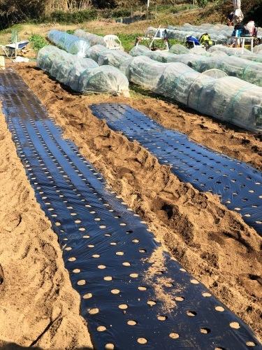 今朝は赤玉葱の定植あとネオアース玉葱2000本定植の畝作りです_c0222448_11555014.jpg