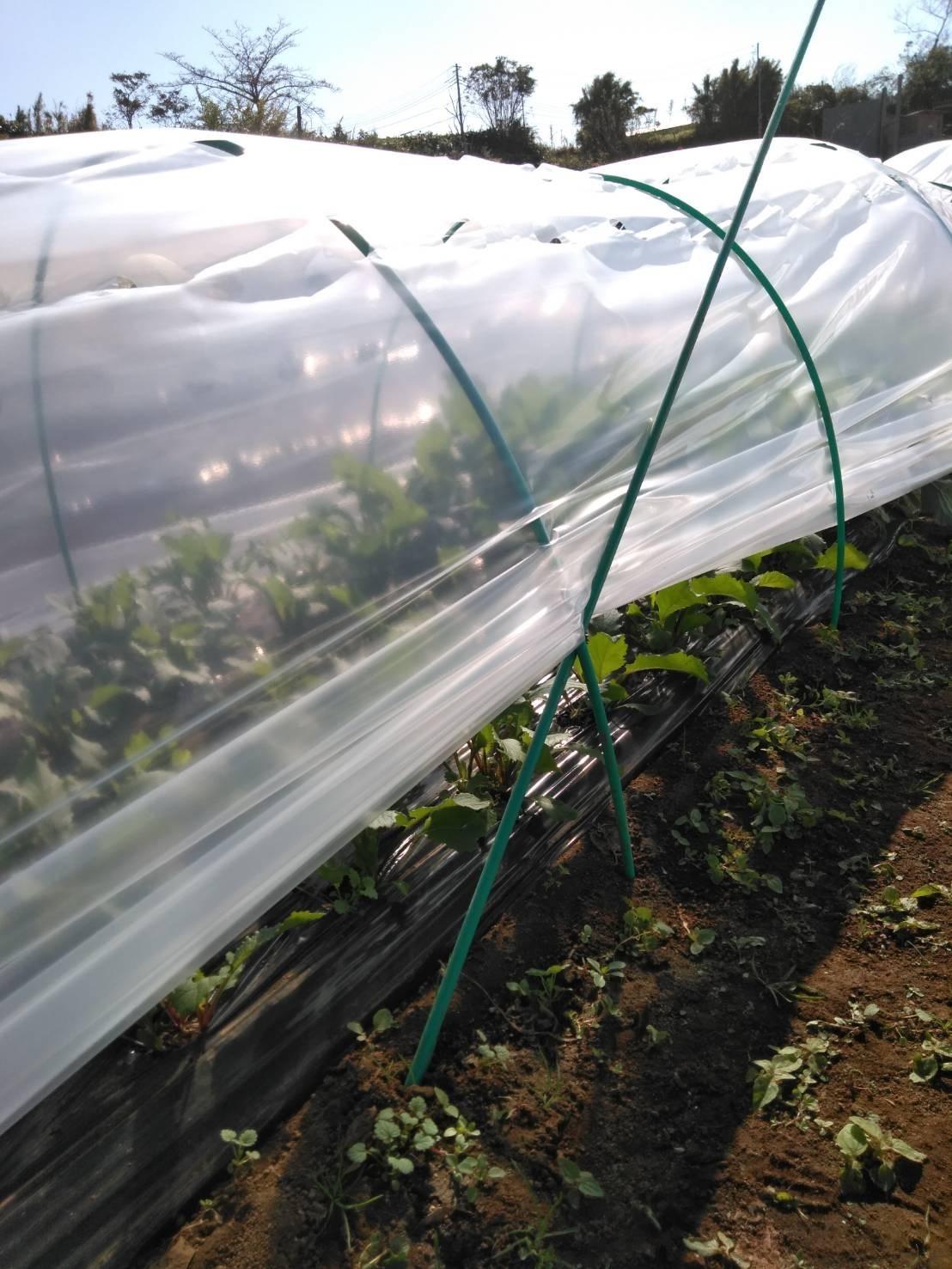 今朝は赤玉葱の定植あとネオアース玉葱2000本定植の畝作りです_c0222448_11595417.jpg