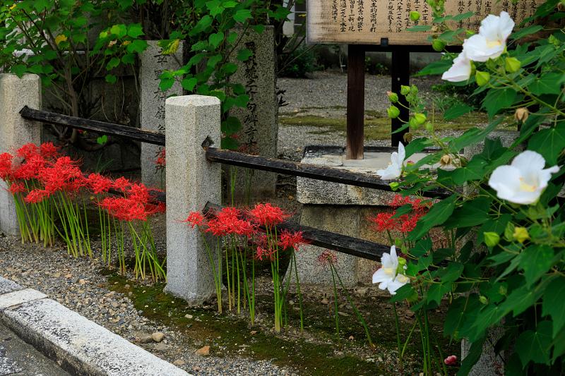 芙蓉と彼岸花咲く妙蓮寺_f0155048_23211549.jpg