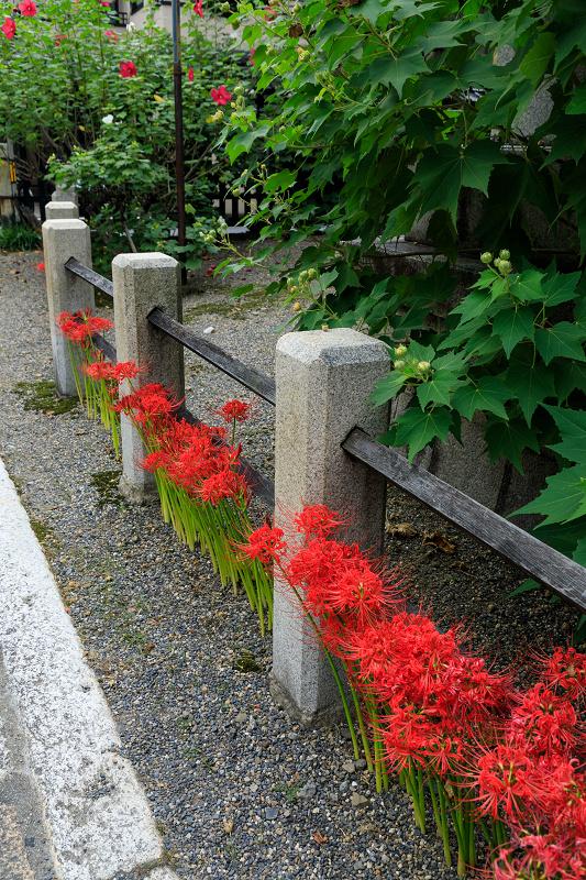 芙蓉と彼岸花咲く妙蓮寺_f0155048_23214362.jpg