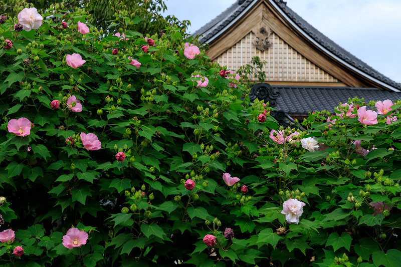 芙蓉と彼岸花咲く妙蓮寺_f0155048_23224396.jpg