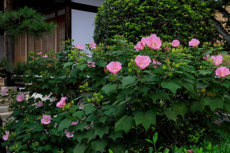 芙蓉と彼岸花咲く妙蓮寺_f0155048_23225386.jpg