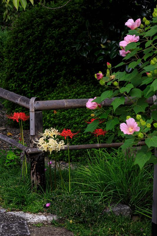 芙蓉と彼岸花咲く妙蓮寺_f0155048_23244751.jpg