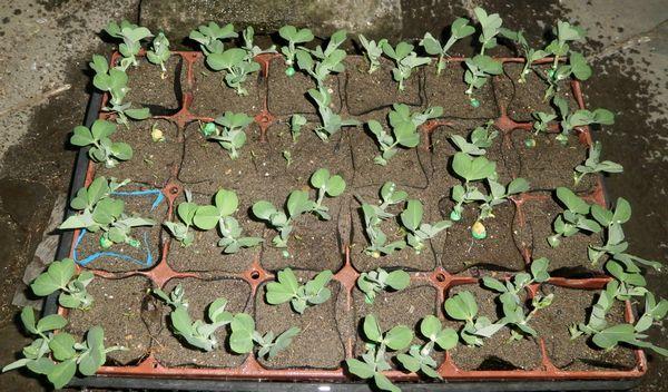 超極早生の「まんぷく豌豆」の発芽など_f0018078_17494836.jpg