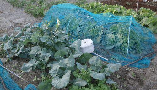 超極早生の「まんぷく豌豆」の発芽など_f0018078_17501244.jpg