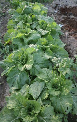 超極早生の「まんぷく豌豆」の発芽など_f0018078_17511376.jpg