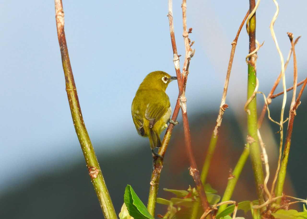 八重山諸島~探鳥~与那国島編 ⑱_d0360910_02504943.jpg