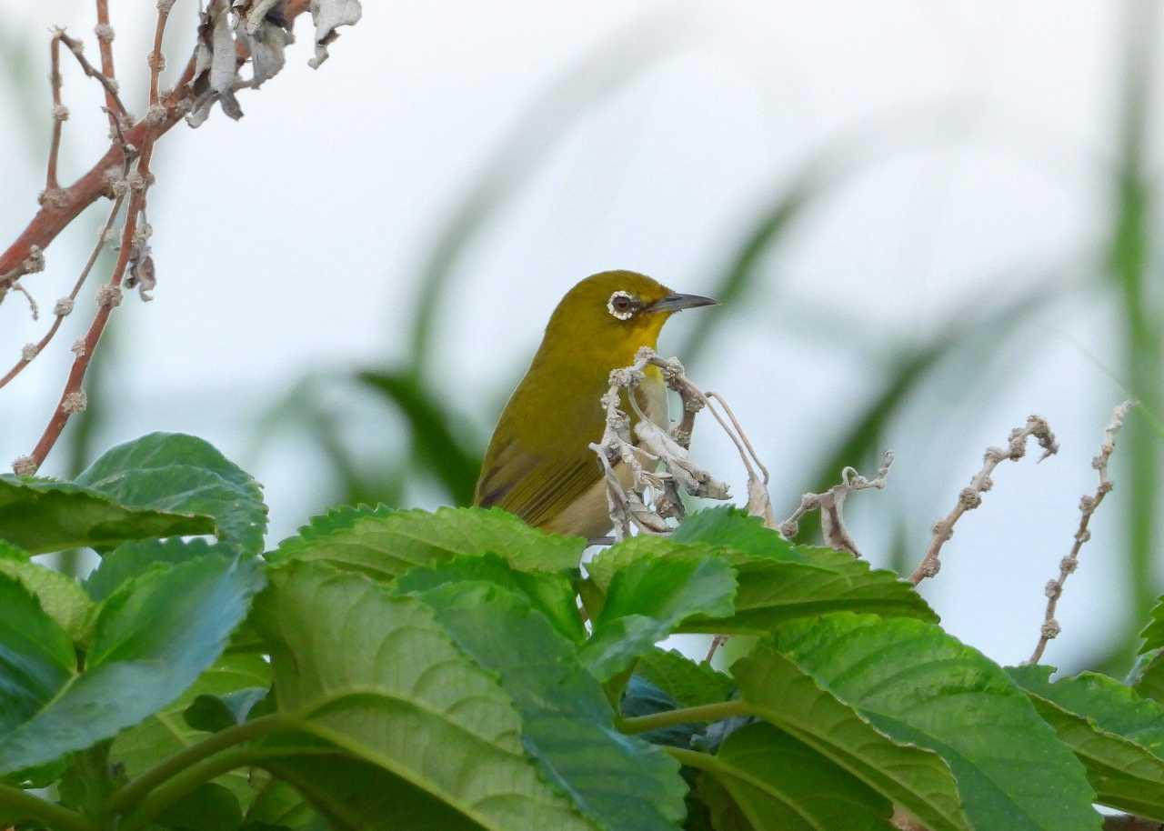 八重山諸島~探鳥~与那国島編 ⑱_d0360910_02511902.jpg