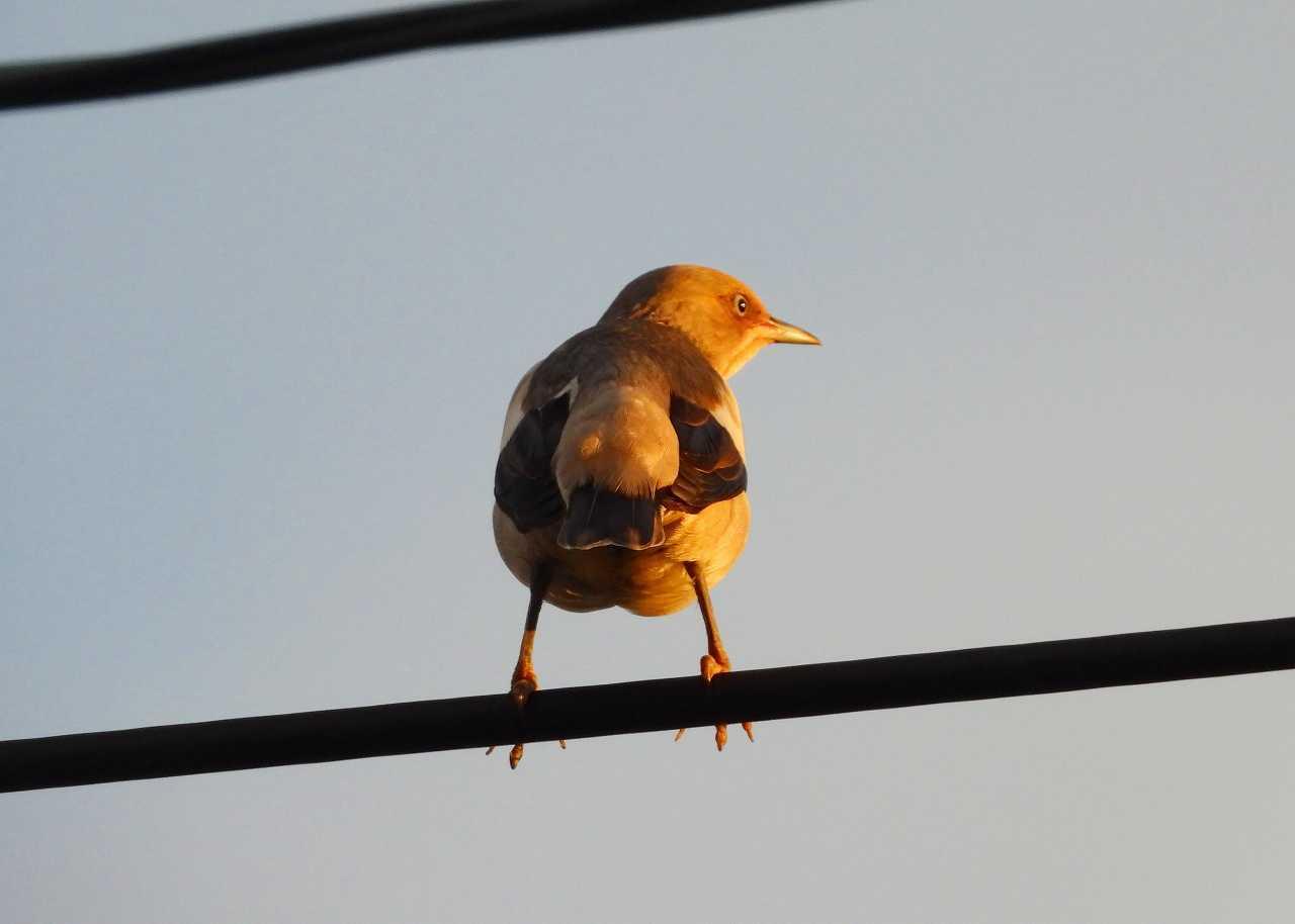 八重山諸島~探鳥~与那国島編 ⑯_d0360910_04283635.jpg