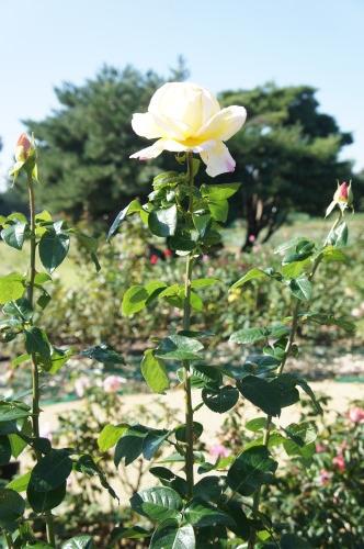 【ひたち海浜公園で秋バラ】_f0215714_16373879.jpg