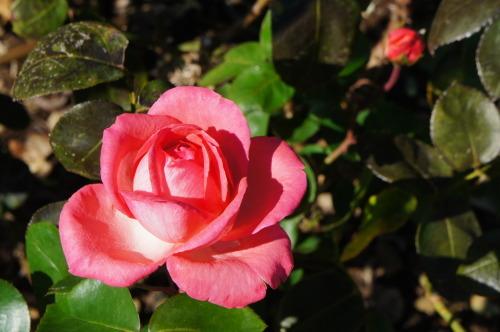 【ひたち海浜公園で秋バラ】_f0215714_16375498.jpg