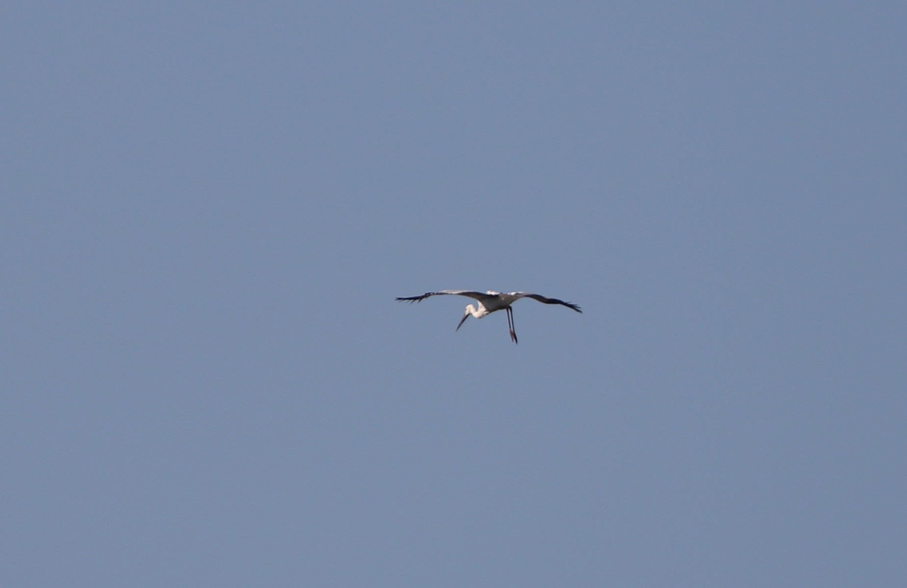 昨日のコウノトリがMFの沼へ_f0239515_1914792.jpg
