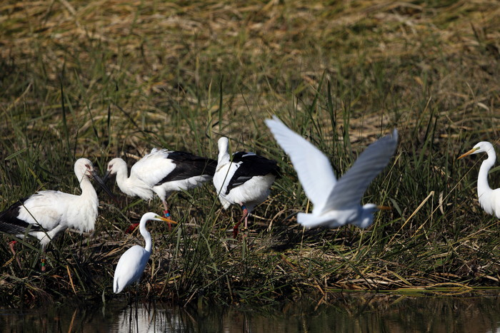 昨日のコウノトリがMFの沼へ_f0239515_1933176.jpg