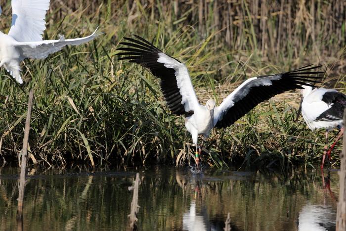 昨日のコウノトリがMFの沼へ_f0239515_194451.jpg