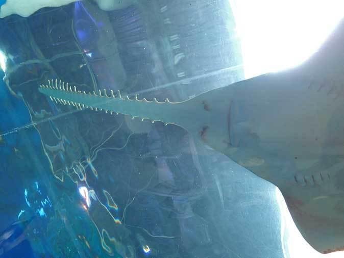 アクアパーク品川「ワンダーチューブ」~世界唯一のノコギリエイ「ドワーフソーフィッシュ」_b0355317_22150912.jpg
