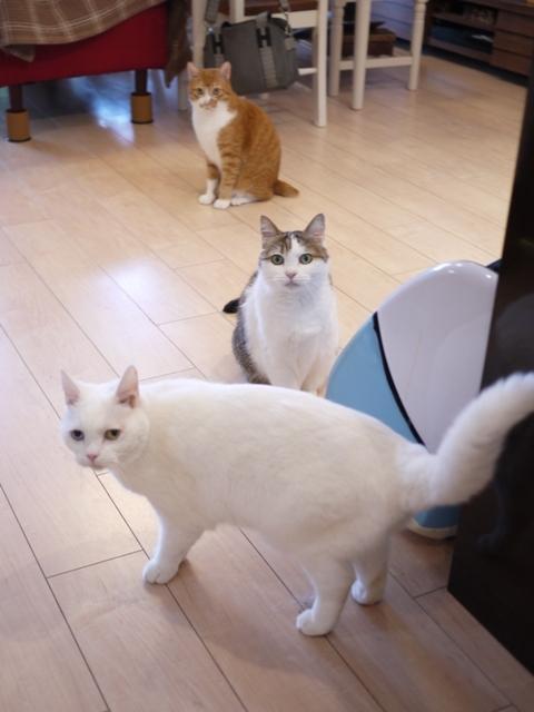 猫のお留守番 リュウちゃんさくらちゃんチャイくん編。_a0143140_23360743.jpg
