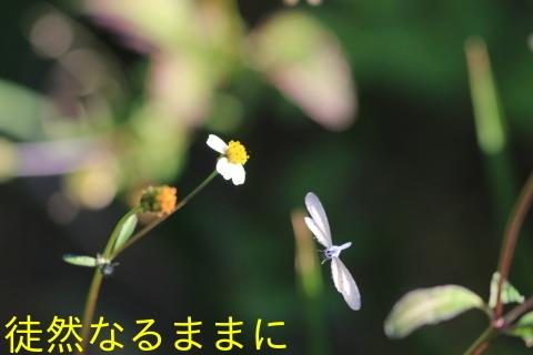 サツマシジミ_d0285540_13053273.jpg