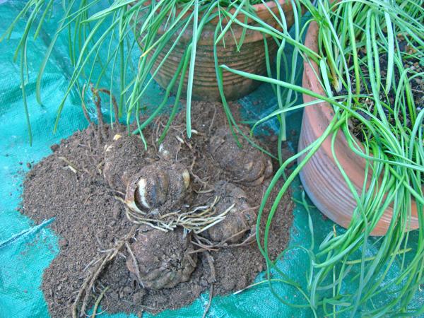 球根、植えた2019_c0134902_19082190.jpg