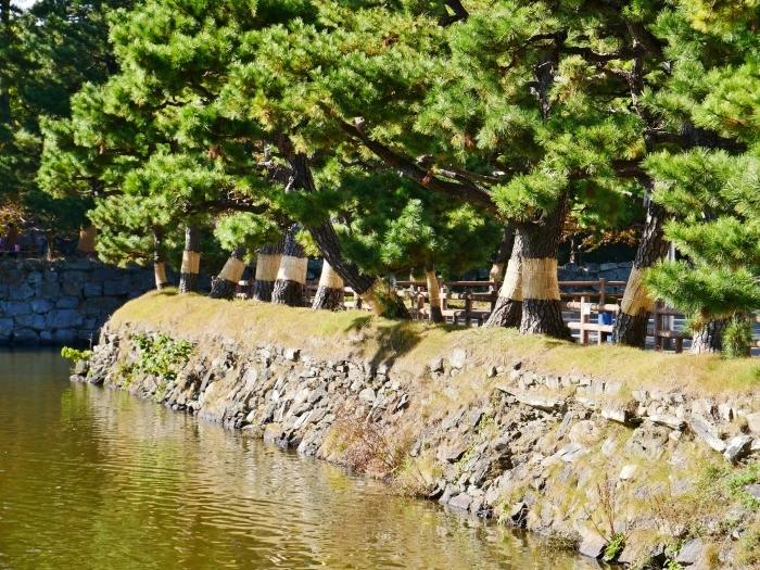 和歌山城のこも巻き  2020-01-25 00:00  _b0093754_13365261.jpg