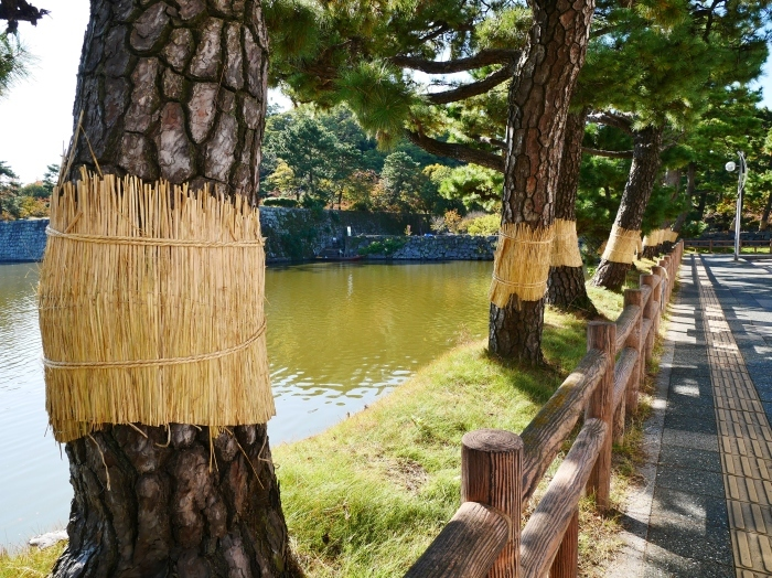 和歌山城のこも巻き  2020-01-25 00:00  _b0093754_13373175.jpg