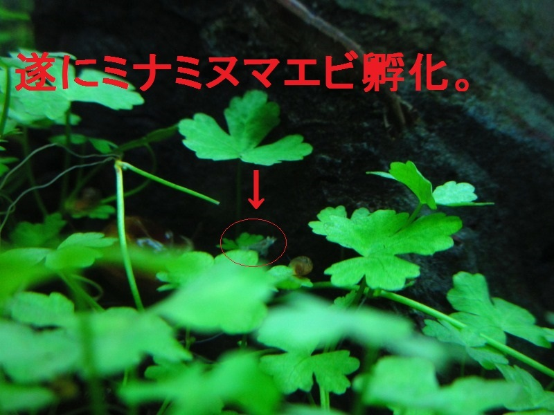 アクアリウム「ミナミヌマエビ孵化」_b0362459_14081370.jpg