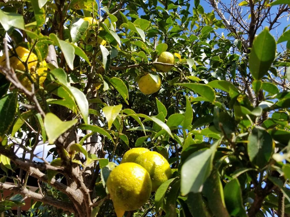 柚子採り_c0056473_12094952.jpg
