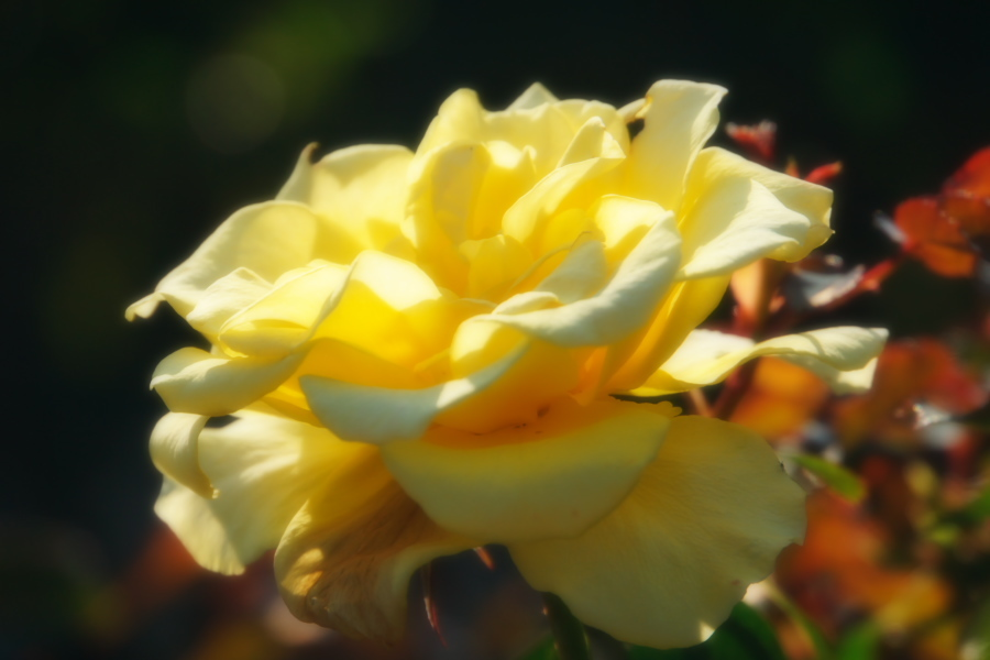 旧古河庭園の薔薇1_a0263109_18345817.jpg