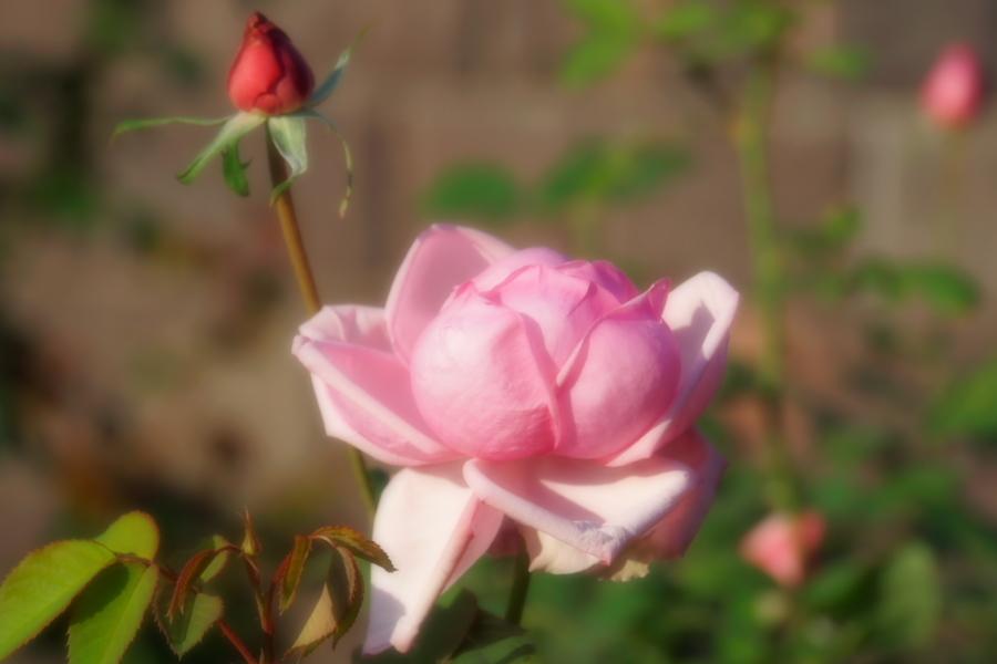 旧古河庭園の薔薇1_a0263109_18345930.jpg