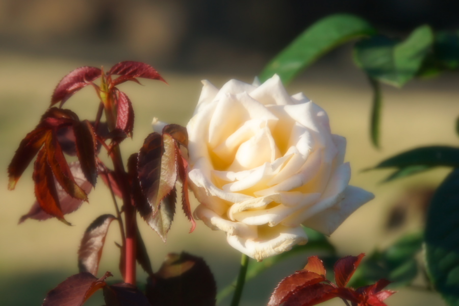 旧古河庭園の薔薇1_a0263109_18345954.jpg