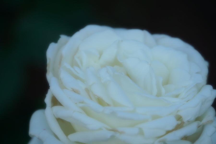 旧古河庭園の薔薇1_a0263109_18345984.jpg