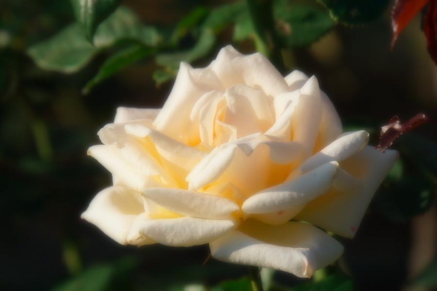 旧古河庭園の薔薇1_a0263109_18345985.jpg